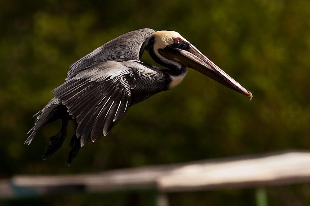 20100415073718-yup0365-pelican.jpg